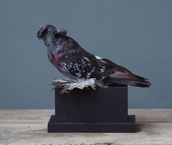 Animal_Naturalise_Objet_De_Curiosite_Pigeon_D_Ornement_Tamboursur_Socle_Rect_Bois