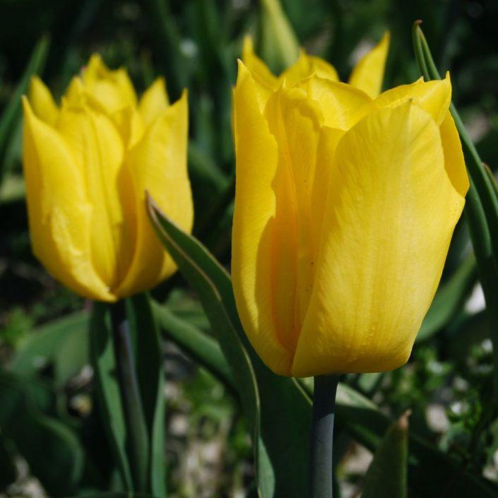 Tulipe Stem